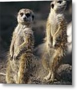 Two Meerkats, Suricata Suricatta, Stand Metal Print