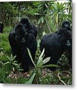 Two Mother Gorillas Carrying Metal Print