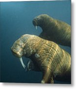 Two Pacific Walruses Swim Together Metal Print