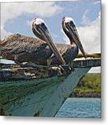 Two Pelicans Pelecanus Occidentalis On Metal Print