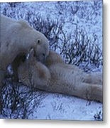 Two Polar Bears Wrestle In The Snow Metal Print