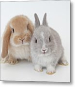 Two Rabbits.netherland Dwarf And Holland Lop. Metal Print