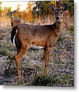 Two White Tails Metal Print