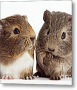 Two Young Guinea Pigs Metal Print
