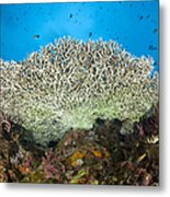 Underside Of A Table Coral, Papua New Metal Print by Steve Jones