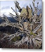 Uprooted Scot's Pine Tree Metal Print by Duncan Shaw