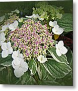 Variegated Lace Cap Hydrangea - Pink And White Metal Print