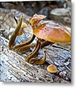 Velvet Foot Mushroom - Flammulina Velutipes Metal Print