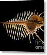 Venus Comb Murex Shell Metal Print