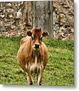 Vernon County Cow Metal Print