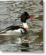 Vibrant Red Breasted Merganser At The Lake Metal Print