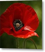 Vibrant Red Oriental Poppy Wildflower Metal Print