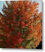 Vibrant Sugar Maple Metal Print
