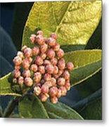 Viburnum Tinus Flower Buds Metal Print