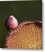Victoria Amazonica Bud And Leaf Metal Print