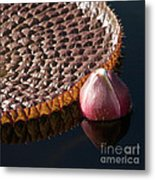 Victoria Amazonica Giant Water Lily Metal Print