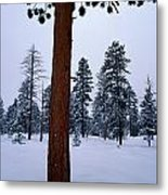 View Of A Ponderosa Pine Surrounded Metal Print