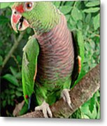 Vinaceous-breasted Parrot Amazona Metal Print