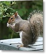 Visiting Squirrel Luncheon Metal Print