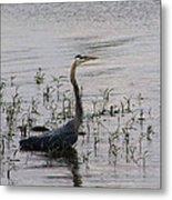 Wading Blue Heron - Ardea Herodias Metal Print