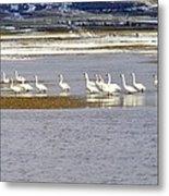 Wading Swans Metal Print