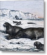 Walruses On Ice Field Metal Print