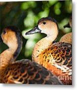Wandering Whistling Ducks Metal Print