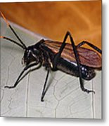 Wasp Mimic Bush Cricket Metal Print