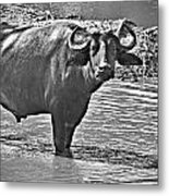 Water Buffalo In Black And White Metal Print