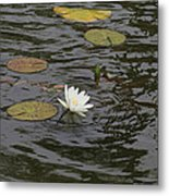 Water Circles On The Lily Pond Metal Print