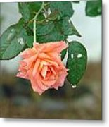 Water Dripping From A Peach Rose After Rain Metal Print