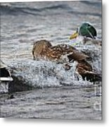 Water Is A Bit Cold Metal Print