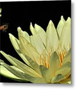 water lily 3 Yellow Water Lily with Bee Metal Print
