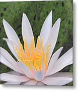 water lily 85 Arc-en-ciel Metal Print