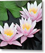 water lily 88 Sunny Pink Water Lily with Reflection Metal Print