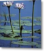 Water Lily Flowers Bloom From A Wetland Metal Print