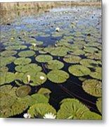 Water Lily Nymphaea Sp Flowering Metal Print