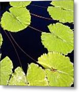 Water Lily Pads And Bloom Metal Print