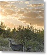Waterbuck Kobus Ellipsiprymnus Mother Metal Print