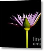Waterlily Opening Part Of A Series Metal Print
