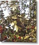 Wax Wing In A Berry Tree  Metal Print