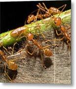 Weaver Ant Oecophylla Longinoda Group Metal Print
