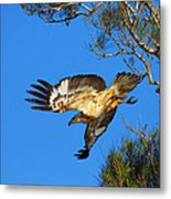 Wedge-tailed Eagle Metal Print