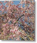 Weeping Cherry Tree In Bloom Metal Print