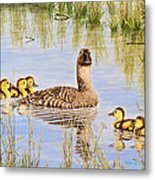 We're Coming - Canvasback And Brood Metal Print