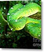 West Amazonian Emerald Tree Boa Metal Print