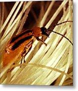 Western Corn Rootworm Beetle Metal Print