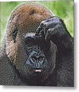 Western Gorilla Portrait With Finger On Metal Print