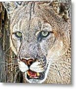 Western Mountain Lion Metal Print