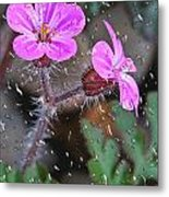 Wet Geranium  Metal Print
